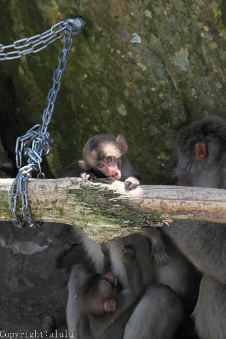 ニホンザル 動物園