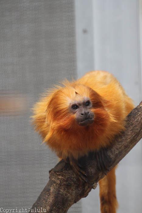 動物写真 ゴールデンライオンタマリン