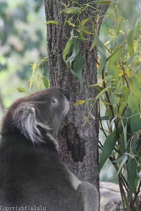 天王寺動物園 コアラ 写真