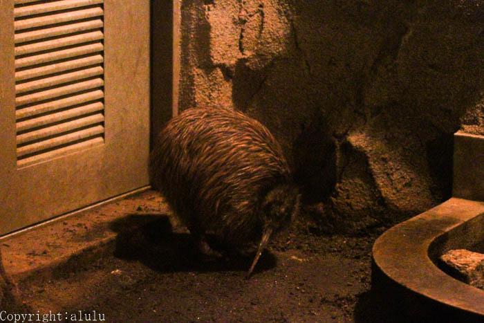天王寺動物園 キーウィ 写真 撮る