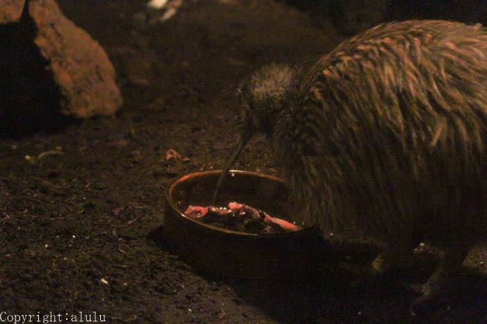 天王寺動物園 キーウィ
