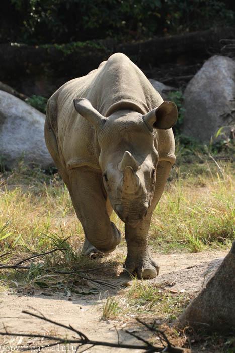 天王寺動物園 動物写真 クロサイ