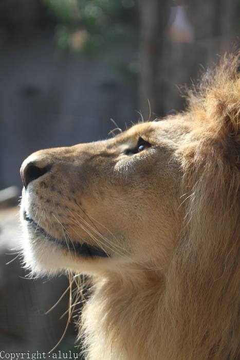 動物園 ライオン