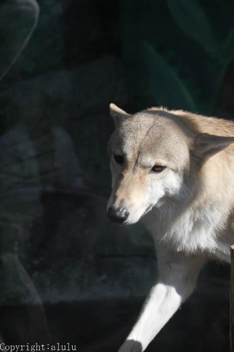 天王寺動物園 動物写真 オオカミ