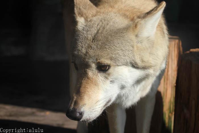 チュウゴクオオカミ ここにしかいない 天王寺動物園