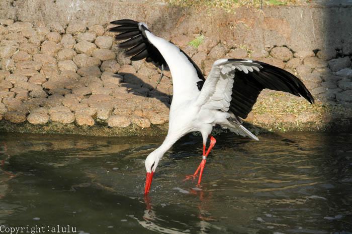 天王寺動物園 写真 シュバシコウ