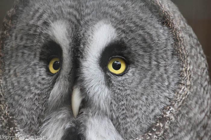 カラフトフクロウ 動物園