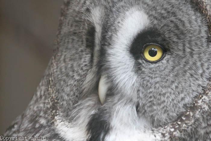 天王寺動物園 カラフトフクロウ