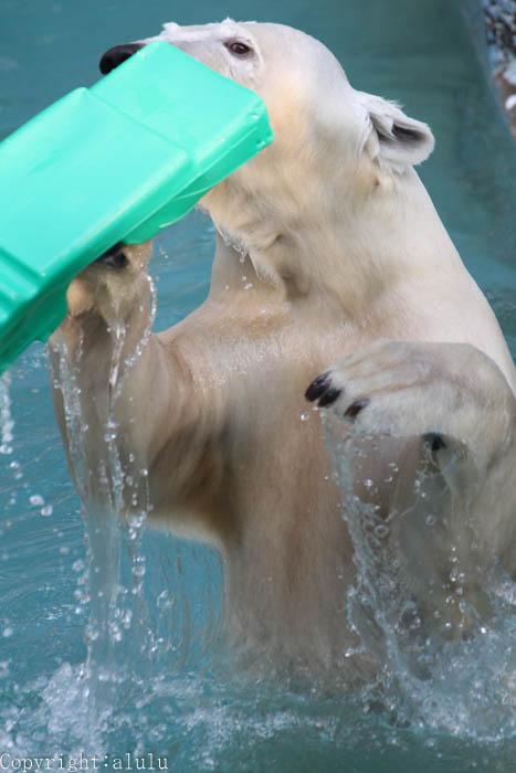 天王寺動物園 動物写真 ホッキョクグマ