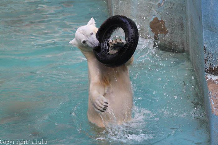 天王寺動物園 ホッキョクグマ いっちゃん