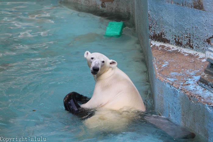 天王寺動物園 ホッキョクグマ 画像