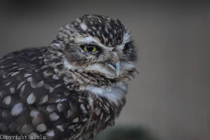 京都市動物園 アナホリフクロウ