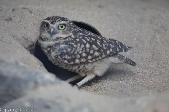アナホリフクロウ 動物写真