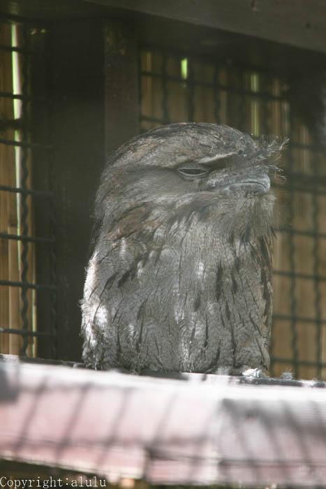 埼玉県こども自然動物園 オーストラリアガマグチヨタカ