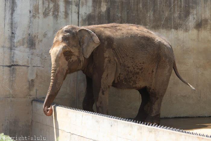動物写真 ゾウ