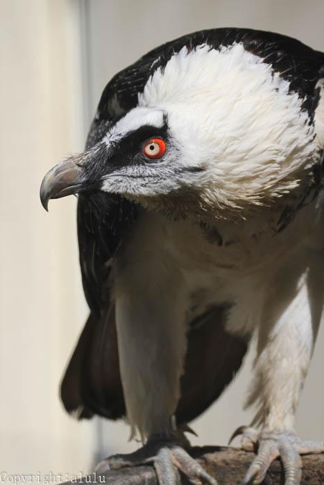動物写真 日本平動物園 ここにしかいない ヒゲワシ