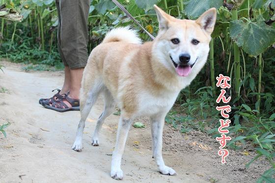 s-himawari151109-IMG_9029