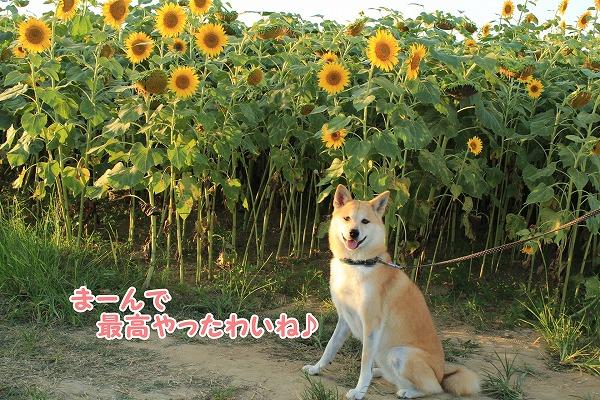 s-himawari151109-IMG_9036