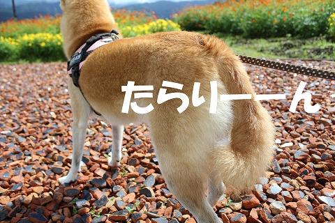 s-kosumosu151207-IMG_9323