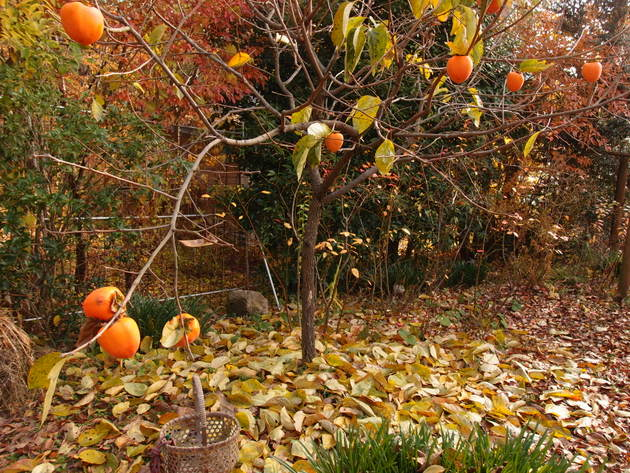 蜂屋柿の木