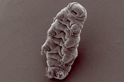 「クマムシ」に大量の外来DNA…大半の生物は1%にも満たないが「17.5%が異種生命体」に由来するものと判明