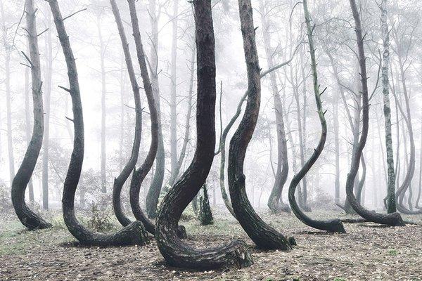 ポーランドにある謎の「不可思議な森」がヤバすぎる!一体なんなんだ、この木は...